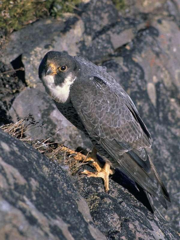 Wanderfalke (Falco peregrinus), © skeeze / Pixabay