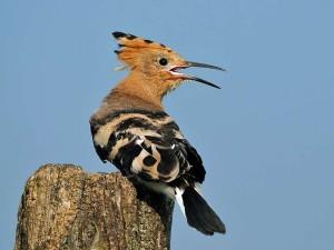 Der Wiedehopf (<em>Upupa epops</em>) kommt in einigen Teilen Deutschlands als Sommervogel vor, © Ján Svetlík via Flickr
