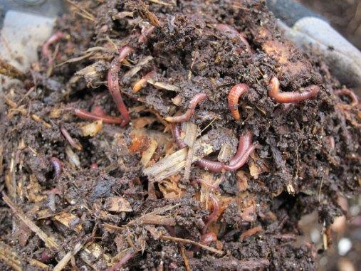 Eine verlässliche Nahrungsquelle für Amseln und eine Reihe anderer Wildtiere sind die Würmer, die in Komposthaufen leben, © BrotherMagneto via Flickr