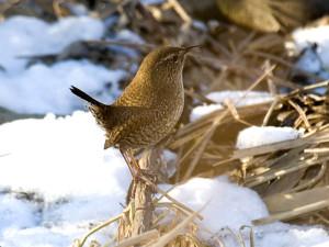 Zaunkönige brauchen im Winter sehr feines, weiches Futter wie feinen Nussbruch oder Mohnsamen, © Sergey Yeliseev via Flickr
