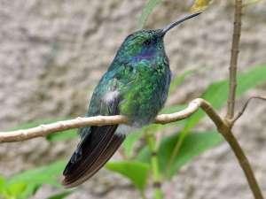 Männlicher Zwerg-Veilchenohr (Colibri thalassinus), © Gaby Schulemann-Maier