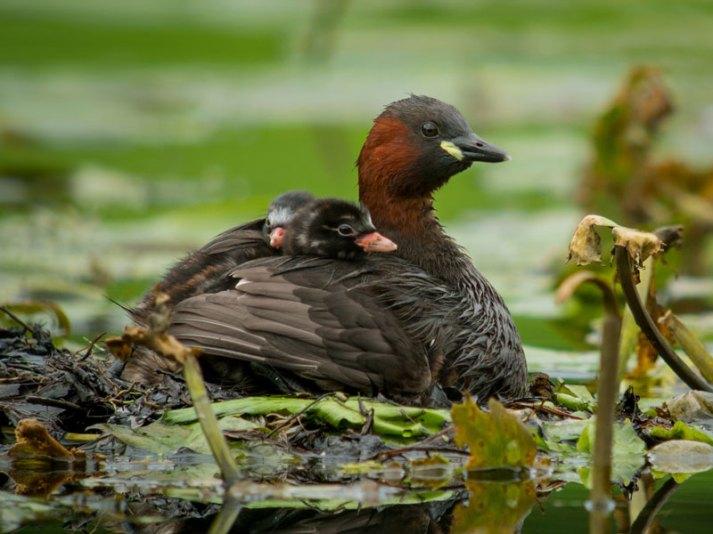 Jeunes grèbes castagneux sur le dos d'un oiseau adulte, © Frank Vassen via Flickr