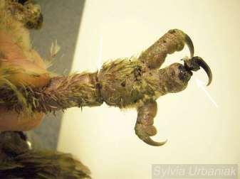 Nach dem Entfernen der Fäden ist das Bein des jungen Waldkauzes ein wenig abgeschwollen, die Einschnürungen sind aber noch immer deutlich zu erkennen, © Greifvogelhilfe.de