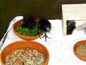 Zwergtaucher und Teichhühnchen bekommen Futter in flachen Schalen in Wasser angeboten, © Anke Dornbach