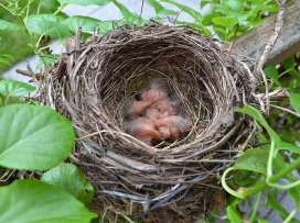 Junge Amseln im Nest, © Co_Sch / Pixabay