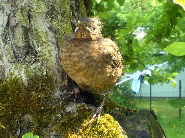 Junge Amsel auf einem Baum, © M. Stumpf