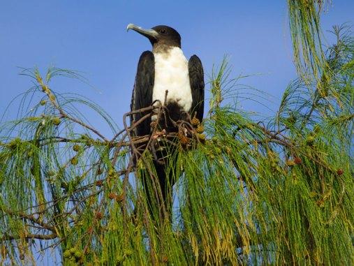 Mit dem an der Spitze nach unten gebogenen Oberschnabel können Arielfregattvögel (Fregata ariel) leicht tote Fische von der Wasseroberfläche aufsammeln, die sie zuvor anderen Vögeln abgejagt haben, © Gaby Schulemann-Maier