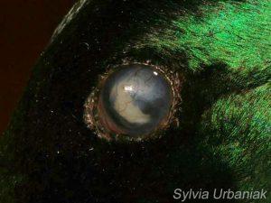 Augenveränderung bei einer Stockente © Greifvogelhilfe.de