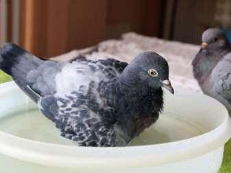Tauben baden sehr gern in flachen Schalen, © Vanessa Franz
