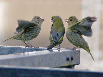 Grünfinkenästlinge mit Altvogel (Mitte) auf dem Balkon, © Gaby Schulemann-Maier