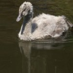 Junger Trauerschwan, © Gaby Schulemann-Maier
