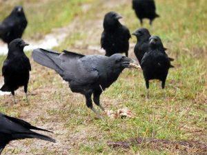 Rabenvögel am Futterplatz, © Ursel Gericke