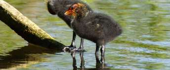 Jeunes foulques macroules dans le nid avec un oiseau adulte, © Gaby Schulemann-Maier