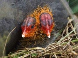 Zwei sehr junge Blässhühner, © Gaby Schulemann-Maier