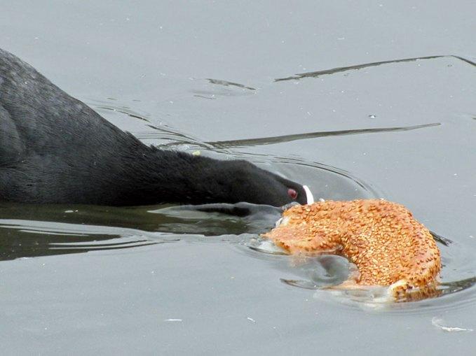 Dieses Blässhuhn versucht vergeblich, von einem Sesamring zu fressen, © Gaby Schulemann-Maier