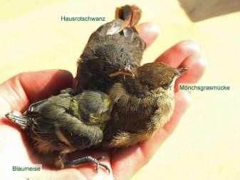 Junge Blaumeise, junger Hausrotschwanz und junge Mönchsgrasmücke im Vergleich, © Dagmar Offermann