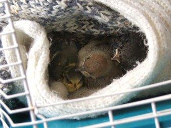 Nestfreundschaft: Eine Blaumeise (links), eine Möchsgrasmücke (Mitte) und ein Hausrotschwanz (rechts) kuscheln sich aneinander, © Dagmar Offermann