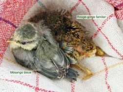 Jeune mésange bleue (à gauche) et jeune rouge-gorge familier, © Tanja Kahlert