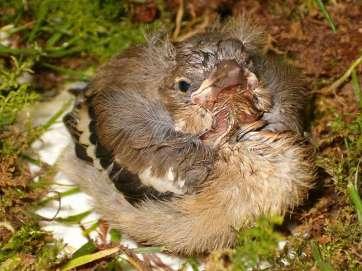 Junger Buchfink, © Richard Pyrek