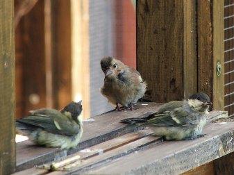 Ein junger Buchfink und zwei junge Kohlmeisen testen die Freiheit an der geöffneten Auswilderungsvoliere, © Dagmar Offermann