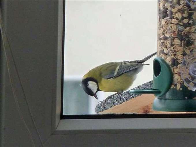 Eine Kohlmeise lässt es sich am Fensterfutterplatz schmecken, © Birgit Kästner