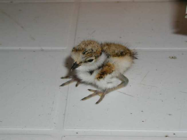 Junger Flussregenpfeifer, © Komitee gegen den Vogelmord