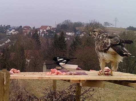 Über ausgelegtes Fleisch freuen sich Rabenvögel und Greifvögel gleichermaßen, © Tanja Schnell