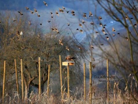 Gut einsehrbare Futterplätze locken nicht nur Greifvögel, sondern auch Starenschwärme an, © Tanja Schnell