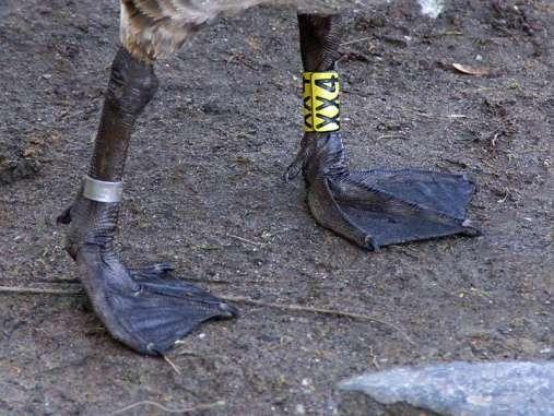 Schwimmhäute, die sich zwischen den drei nach vorn gerichteten Zehen eines Fußes befinden, sind typisch für Wasservögel wie diese Kanadagans, © Gaby Schulemann-Maier