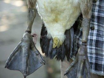 Bei dem Versuch, sich zu befreien, hat dieser Wasservogel die verknotete Angelschnur immer fester gezogen, bis sie sich fast bis zum Knochen ins Gewebe gedrückt hat. © Paasmühle