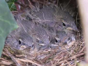 Jeunes bergeronnettes des ruisseaux dans le nid, © Gerd Schwarz via naturgucker.de