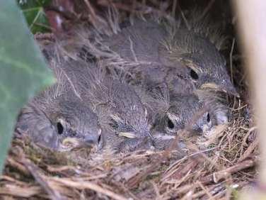 Junge Gebirgsstelzen im Nest, © Gerd Schwarz via naturgucker.de