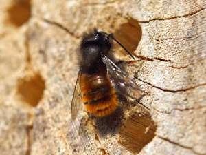 Gehörnte Mauerbiene (Osmia cornuta) an einem Insektenhotel, © Gaby Schulemann-Maier