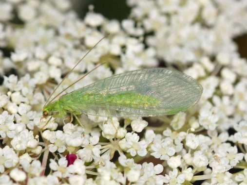 Erwachsene Gemeine Florfliegen (Chrysoperla carnea s.l.) ernähren sich unter anderem von Nektar, aber ihre Larven fressen Blattläuse und gelten deshalb als wichtige Nützlinge, © Gaby Schulemann-Maier