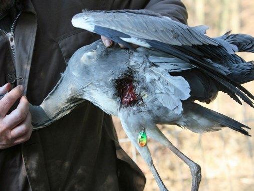 Mitunter bohren sich Angelhaken an Stellen in den Körper eines Vogels, an denen man sie nicht unbedingt vermuten würde - so wie hier an der Flanke eines Graureihers, © Paasmühle