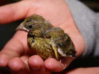 Junger Grünfink, © Holger Rothe