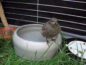 Eine Schale mit Wasser zum Trinken sollte in der Unterbringung nicht fehlen, aber starre Gitterstäbe können problematisch für das Gefieder junger Vögel sein; hier ist ein Hausrotschwanz zu sehen, © Sabine Scheller