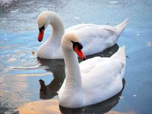 Höckerschwäne freuen sich im Winter oft über von Menschen gereichte Nahrung, © aleslanger / Pixabay