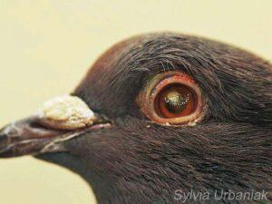 Weit vorangeschrittener Hornhautdefekt bei einer Stadttaube, © Greifvogelhilfe.de