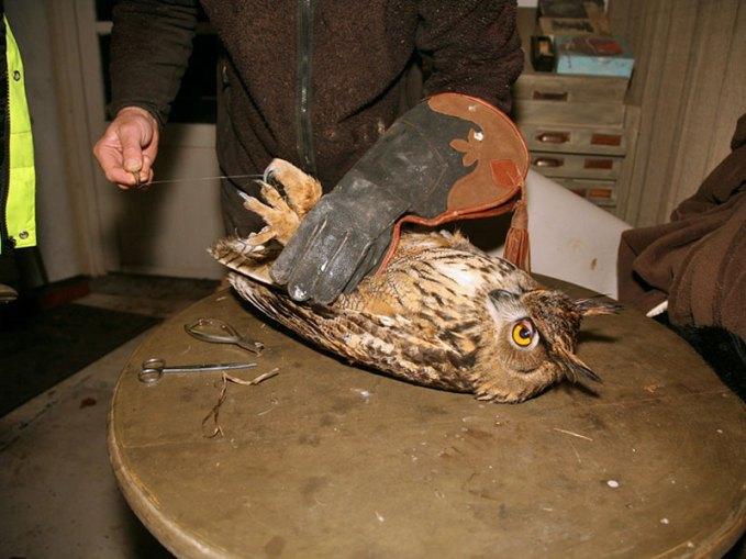 Ein eher ungewöhnliches Opfer einer Angelschnur-Einschnürung ist dieser Uhu. Offenkundig können sich auch Greifvögel in den Schnüren verfangen. © Paasmühle