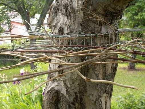 Durch die eingewobenen Zweige bietet der Katzengürtel keinen Durchlass mehr für sehr schlanke kletternde Beutegreifer, © Andrea Heiss
