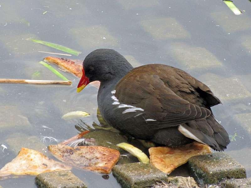 Gut gemeint, aber nicht gut gemacht - Pommes, Sandwiches und dergleichen sind kein geeignetes Futter für Wasservögel, © Gaby Schulemann-Maier