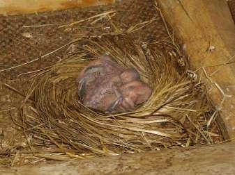 Sieben bis neun Tage alte Mauersegler im Nest, © W. B.