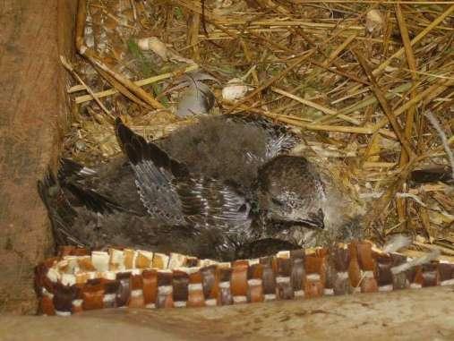 Martinet noir âgé d'environ 18 jours, © W. B.