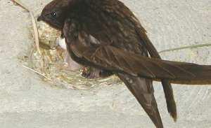 Mauersegler-Nest in einer Nisthilfe, © Schwegler