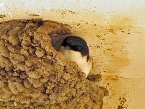 Nest einer Mehlschwalbe, © Gaby Schulemann-Maier