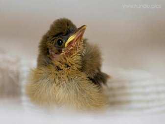 Junge Mönchsgrasmücke, © Aysin Matthiesen
