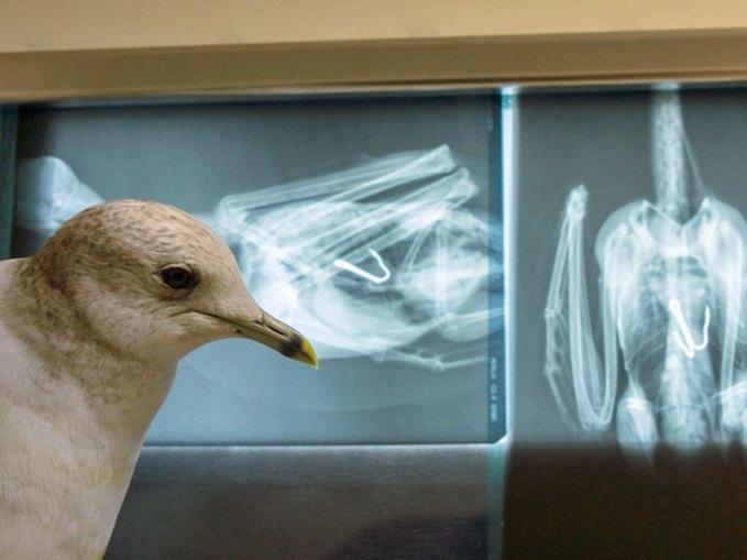 Von außen sieht man dieser jugendlichen Möwe nichts an, doch die Röntgenbilder zeigen, dass sie einen Angelhaken verschluckt hat und dringend operiert werden muss. © Paasmühle