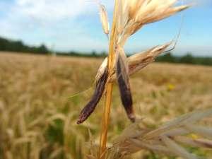 Der Mutterkornpilz (Claviceps purpurea) befällt Getreide und Wildgräser, er ist hochgradig giftig - auch für Vögel, © Gaby Schulemann-Maier