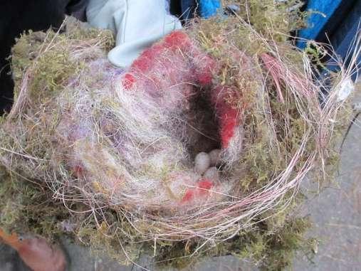 Auch das entdeckt man beim Reinigen von Nistkästen zuweilen: aufgegebene Gelege oder manchmal sogar tote, mumifizierte Jungvögel, © Claus Walter